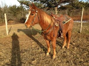8 year old Registered Quarter Horse Gelding