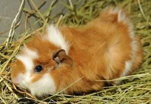 Cute and freindly guinea pigs for sale Bass Hill Bankstown Area Preview