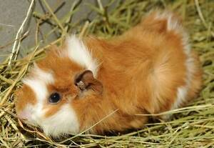 Cute and freindly guinea pigs for sale Canley Vale Fairfield Area Preview