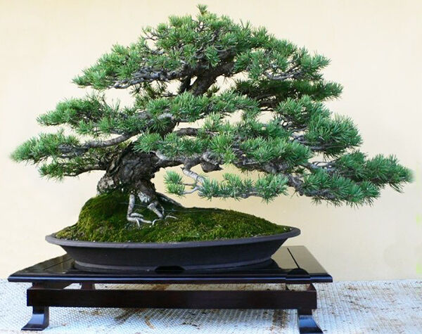 Top 10 bonsai trees ebay for Most expensive bonsai tree ever