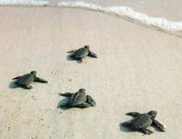 Sea turtle protection program in Costa Rica