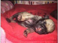 6 stunning KC Reg pug puppies