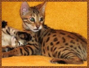 ❤️ BRING HOME TO A BENGAL ❤️