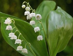 Muguets des bois Lily of the valley