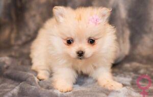 Tiny Pomeranian Puppies !! Super Cute !!