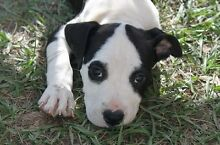Pedigree American Staffy Pups Burpengary Caboolture Area Preview