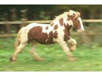 Parsely 2yrs colt to be gelded