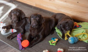 Labrador Puppies - Chocolate and Yellow