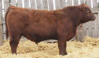 Red Angus & Simm/Red Angus Bulls For Sale