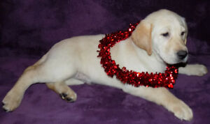 ♥♥♥SWEETHEART SALE♥♥BEAUTIFUL WHITE/YELLOW LABRADOR PUPPIES♥♥♥