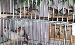 7 Adult Zebra Finches - Male & Female, 2016 March & April Babies London Ontario image 5