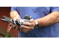 Race pigeons