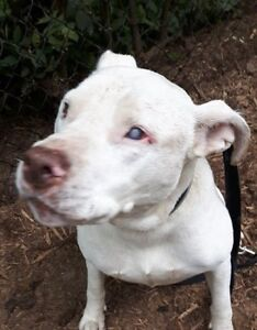 "Adult Female Dog - Labrador Retriever-Pit Bull Terrier: ""Kara"""