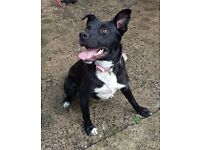 Loving Home Needed - 1 year old male staffy x - Andre - Perfect Paws Dog Sanctuary