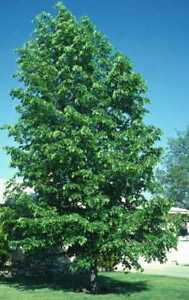 Poplar and willow cuttings for sale - grow up to 6 feet a year