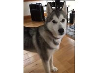 Lovely Husky Female - 5 Months Old
