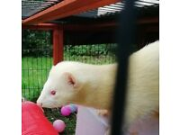 Albino Hob Ferret