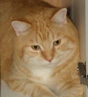 "Adult Male Cat - Domestic Short Hair: ""Dusty"""