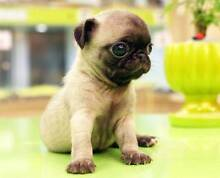 Small Pug X Chihuahua Male Wanted Brisbane City Brisbane North West Preview