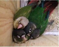 Conure Babies with Cage and Food