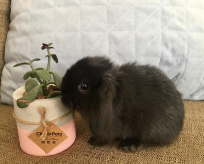 most gorgeous pure bred mini lop bunnies