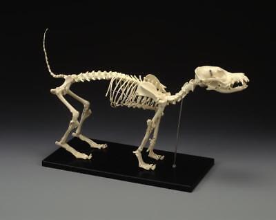 Canine Anatomy Skeleton Model - Standard Size Lfa 2015-x Slight Damage