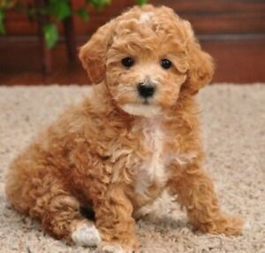 Wanted: Wanted Toy Poodle puppy, female.