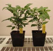 Hot Pepper Plants