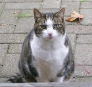 """Adult Male Cat - Domestic Short Hair-Tabby: """"Monty"""""""