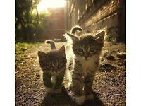 kittens for sale british short haired cross