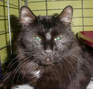 """Adult Male Cat - Domestic Long Hair: """"Shadow 16 (PN 152)"""""""