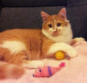 Young Male  - Domestic Medium Hair - orange and white Comox / Courtenay / Cumberland Comox Valley Area image 2