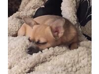 3 year old female chihuahua for sale