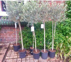 Tall olive trees
