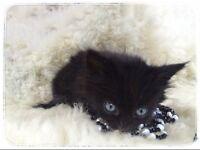 British Shorthair X Norwegian Forest adorable kittens