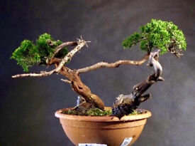 Yamadori Sabina Juniper available for delivery now
