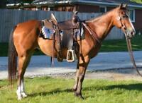 10 YEAR OLD-14.3 HAND GELDING--GENTLE AND WELL BROKE
