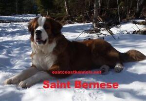 Beautiful Saint Bernese pups