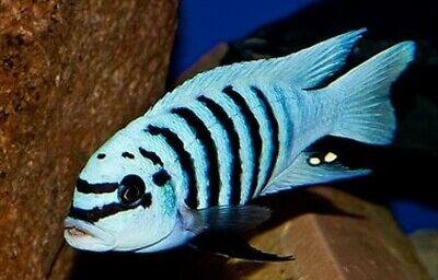 Zebra Chilumba Cichlid Live Tropical Freshwater Aquarium Fish African -
