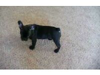 French bulldog for sale cheap!
