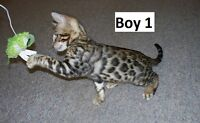 Purebred TICA Bengal Kittens, Champion lines