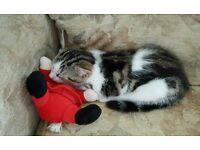 Cute x bengal kitten