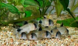 CORYDORAS TROPICAL FISH