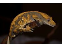 Stunning Male Crested Gecko