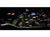 Aquarium Fish tank - Juwel Rio 450, 2x FX6, Over 50 mainly F1 high qua