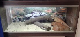 Female bearded dragon and 3ft set up