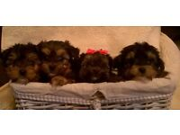 Yorkie poo pups (Puppies)