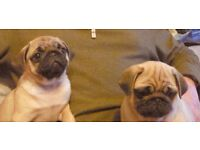 the cutest Pug puppies ever!