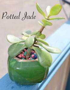 Potted Pressies Plants & Succulents Elizabeth South Playford Area Preview