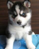 Wanted: Male Purebred Siberian or Alaskan Husky puppy